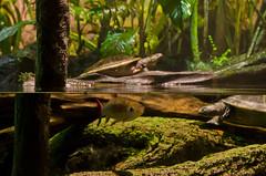 Alone in the Wild (aaronmalonephotography) Tags: wild plants fish water nikon rainforest underwater turtle maryland baltimore jungle aquatic innerharbor nationalaquarium baltimoreaquarium freshwater nikond7000