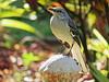 Mockingbird Canon Powershot SX 700 HS 20150117 (Kenneth Cole Schneider) Tags: florida miramar backyardbirds