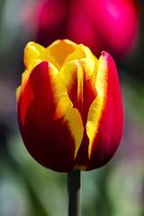 Tulpe (Rolf Piepenbring) Tags: flower tulip tulpe