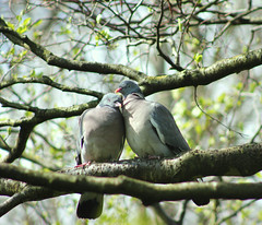 Spring Doves (ekaterina alexander) Tags: pictures wood wild england tree nature birds photography sussex spring branches pigeons alexander doves columba ekaterina palumbus