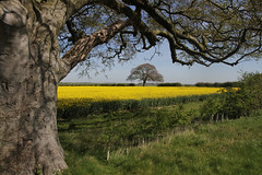101-IMG_7668a (tjsphotobrigg) Tags: uk trees england colour yellow canon landscape countryside spring lincolnshire crops autofocus oilseedrape wolds ruby10