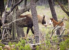 """Hey Dad, Wanna Play?"" (Ayne Bales Photography) Tags: wildhorses assateague chincoteague chincoteagueponies"