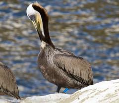 Brown Pelican (band E03) (christopheradler) Tags: california brown tag pelican banded occidentalis pelecanus