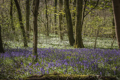 The Wenallt (MarkTugwell) Tags: trees tree nature bluebells southwales wales woods cardiff