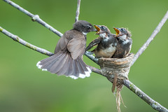 Feeding young (BP Chua) Tags: wild green bird nature animal feeding wildlife young mother chick feed pied fantail