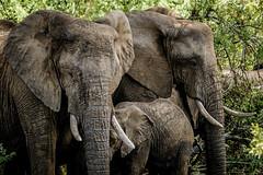 Suedafrika-28 (Lukas P Schmidt) Tags: elephant nationalpark krugerpark
