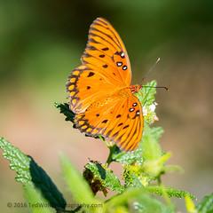 B36C5305 (WolfeMcKeel) Tags: vacation lake butterfly keys spring key gulf florida wildlife butterflies national crocodile largo refuge fritillary nwr 2016 floridakeys2016vacationspring