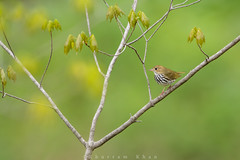 Rise to the top (Khurram Khan...) Tags: ilovenature nikon nikkor migration songbirds warblers ovenbird naturephotos migratingbirds warblermania ilovewildlife iamnikon khurramkhan khurramkhanphotocom