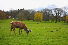onestagedited (paulbeardmore1) Tags: nottingham nature stag wildlife deer wollaton wollatonhall