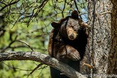 BlackBearMarked09 (1 of 1) (coldtrance) Tags: bear arizona black animal canon mammal outdoors zoo wildlife blackbear canont3