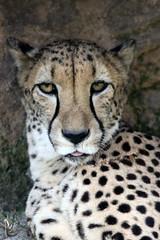 Busch Gardens: Cheetah (Jasmine'sCamera) Tags: tampa cheetah buschgardens busch