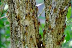 Magicicada (17-year Cicada, Brood V) (magicnature) Tags: cicada v brood 17year magicicada