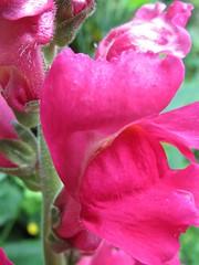 1915 Snapdragon - Antirrhinum (Andy panomaniacanonymous) Tags: 20160614 aaa antirrhinum fff flower photostream snapdragon sss red rrr