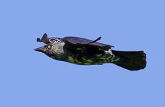 melanistic jackdaw ( corvus monedula ) (Mid Glam Sam1) Tags: wales inflight crow jackdaw melanistic corvidae corvusmonedula