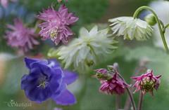 Columbine Collection (Shastajak) Tags: flowers texture collage composite columbine mygarden springflowers aquilegiavulgaris sliderssunday