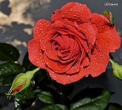 Il sole dopo la pioggia (lefotodiannae) Tags: la rosa il sole fiore rosso pioggia rossa dopo lefotodiannae