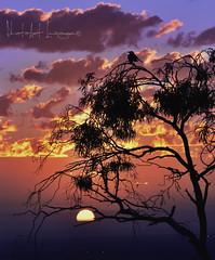 Faith is the bird that feels the light when the dawn is still dark. (PhotoArt Images) Tags: sunset bird australia adelaide southaustralia gumtrees adelaidehills nikon80400 nikond810 birdandsunset