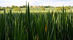 Day 142 Dog's eye view (c-mitchell39) Tags: dog green field countryside cotswolds dogwalk dogwalking greenfields dogsview thecotswolds wickhamford dailydogwalk