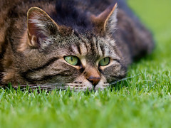 Birdwatch Cleo style (FocusPocus Photography) Tags: pet grass animal cat chat lawn gato gras katze cleo haustier tier rasen