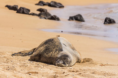 monkseal9Jun17-16 (divindk) Tags: hawaii hawaiianislands kauai neomonachusschauinslandi beach cute endangeredspecies hawaiianmonkseal lazy marine marinemammal monkseal seal sunshine whiskers