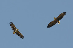 Where the Eagles fly..... (Tim Melling) Tags: haliaeetus albicilla whitetailed eagle sea estonia adult immature flight flying timmelling