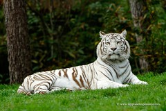 White Tiger (My Planet Experience) Tags: wild portrait india white animal mammal wildlife tiger royal conservation species endangered bengal mohan biodiversity pantheratigristigris wwwmyplanetexperiencecom myplanetexperience