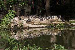 alligator (slider5) Tags: alligator ms basking noxubee