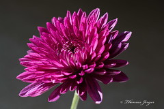 Basking in the Autumn Sunlight 1207 Copyrighted (Tjerger) Tags: autumn portrait sunlight plant flower green fall nature floral wisconsin petals stem purple gray mum bloom basking graybackground