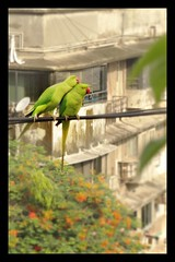 Pretty parakeets on cable wire (Indianature14) Tags: india view parrot bombay parakeet maharashtra mumbai 2016 citybird roseringedparakeet indianature cityparrot