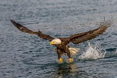Bald Eagle - full frame (Andy Morffew) Tags: alaska fishing zoom baldeagle fullframe closeby kachemakbay naturethroughthelens andymorffew morffew