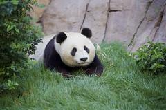 Xiao Liwu relaxing in the grass (Rita Petita) Tags: china california panda sandiego x giantpanda sandiegozoo xiaoliwu