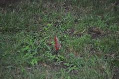 Bilateral Gynandromorph Cardinal 07 (Gary Storts) Tags: cardinal gynandromorph gynadromorph orninthology birdwatching birds cardinalis northerncardinal cardinaliscardinalis
