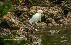 Patient Egret (tclaud2002) Tags: seascape bird nature water canon outside outdoors photography photo rocks wildlife bank photograph egret banks waterway okeechobeewaterway eading eadingbird