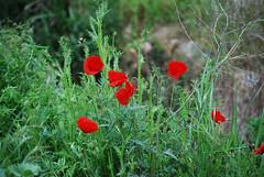 Amapolas (BONNIE RODRIGUEZ BETETA) Tags: zamora amapolas flores naturaleza castillaylen