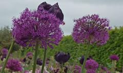 Tuinen van Appeltern mei 2016 (9) (megegj)) Tags: flower fleur blume fiore allium gert bloem