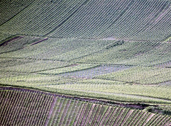 Hang. (universaldilletant) Tags: hang rdesheim reben weinberg weinanbau