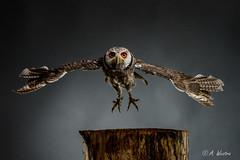 southern white-faced owl (a3aanw) Tags: arendspaans roofvogelworksop settels d800 nikon roofvogels broncolor owl uil afsnikkor70200mmf28giied