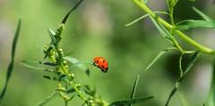 ladybug (ecordaphoto) Tags: red macro verde green nature nikon natura erba insetto boken coccinella 55300