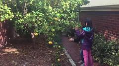 Plucking some lemons (Stinkee Beek) Tags: erin ethan leonard fremantle
