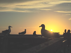 Seagulls, OB Pier (isaacullah) Tags: ocean pier seagulls birds sunset