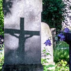+ --- (Heinrich Plum) Tags: fuji xe2 xf1855mm heinrichplum plum licht shade kreuz crucifix grabstein tompstone abendstimmung abendsonne eveninglight eveningatmosphere eveningsun glockenblume bluebell campanula altersdfriedhof cemetery mnchen munich bavaria bayern oldsouthcemetery