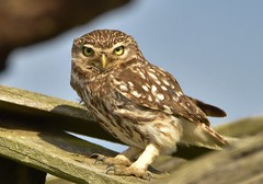 Little Owl (charlie.syme) Tags: little northumberland wildlife eyes nikon