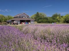 Lavender (Michael Zahra) Tags: canada ontario lavender flower purple farm nature travel tourism sky blue barn tractor color colour conservation ecology flora fauna 645z ricoh pentax mf mediumformat