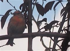 Balcony garden 20140925 (caligula1995) Tags: 2014 housefinch plumtree
