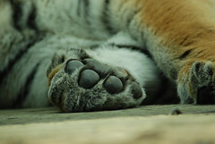 Paws for Thoughts....... (fergie_cat) Tags: amur siberian tiger cubs woburn sarari park stripes big cats bigcats paws claws feline predator