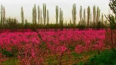 . (Vieparamsberlon.) Tags: spring blossoms flowerbed pink colour garden
