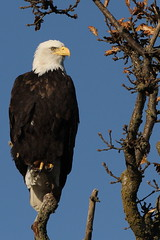 2 Votes: Bald Eagle In Perhaps BC's Most Photographed Tree for BE's - Boundary Bay (Dennis J. Nelson) Tags: nature vancouver for photo bc contest bald delta eagles candidates haliaeetus leucocephalus 2015 trimmimg ibaboundarybay bcbirdsofinterest