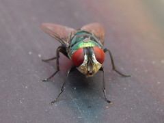 Fedelha linda - RSCN0503 (Caduuu) Tags: macro braslia fly nikon patch mosca blowfly redeyes varejeira macroclique