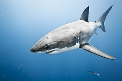 Great White Sharks (zubindoshi) Tags: mexico shark greatwhiteshark guadalupeisland