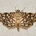 # 5250 – Lygropia rivulalis – Bog Lygropia Moth